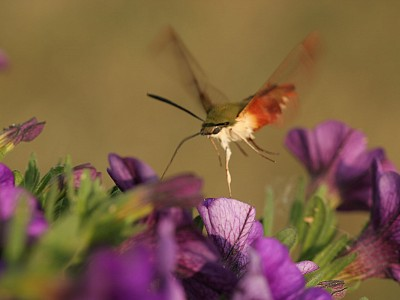 Humming_bird_moth3